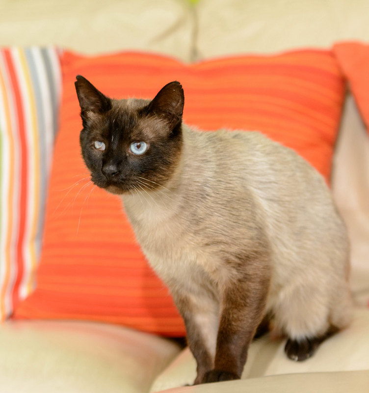 Gato Siam (13)