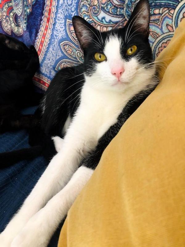 Gato Dominó (1)