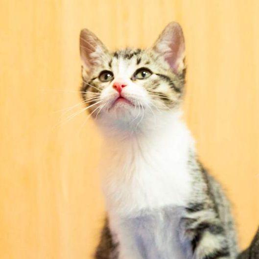 Gato Linx